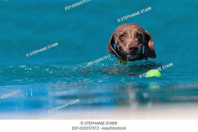 German shorthaired pointer swims with a toy in a pool in summer