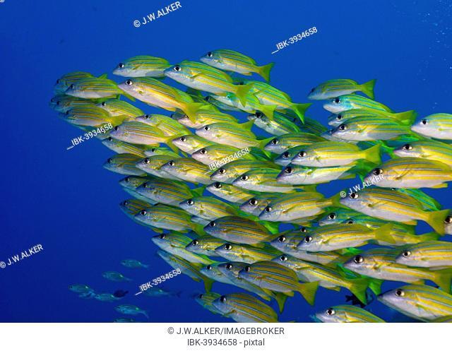 School of Bluestripe Snappers (Lutjanus kasmira), Palau