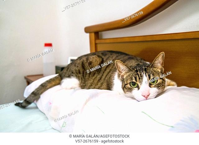 Tabby and white cat lying on the pillow of the bed