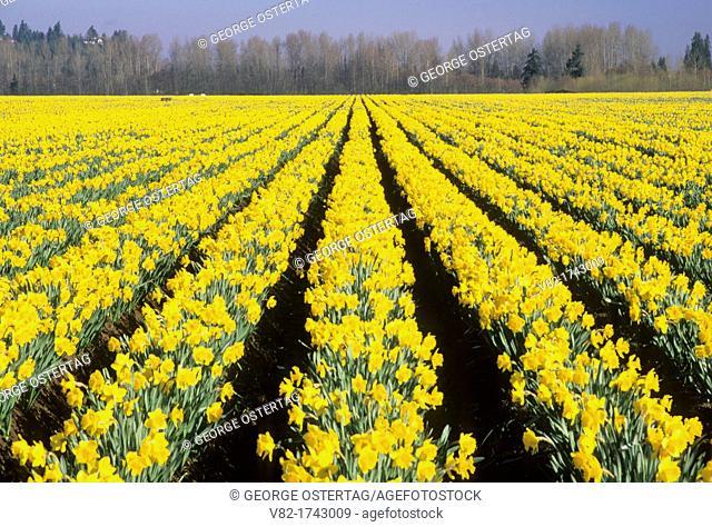 Daffodil field, Pierce County, Washington