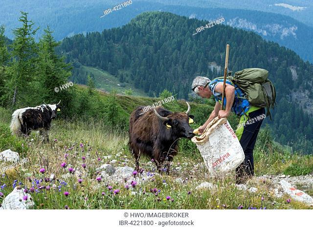 Shepherd feeding yak, yak herd on Monte Rite, Museum Dolomites, Museum in the clouds, belonging to Messner Mountain Museum, former Fort, Dolomites