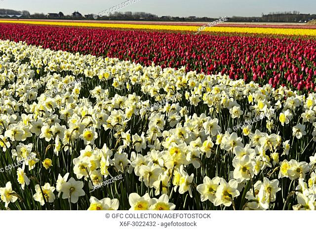 Cultivation of daffodils and tulips for the production of flower bulbs in the Bollenstreek area near Noordwijkerhout, Netherlands