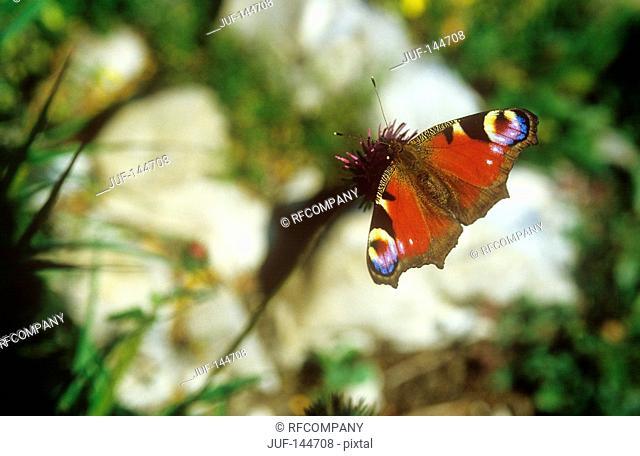 European peacock caterpillar / Inachis io