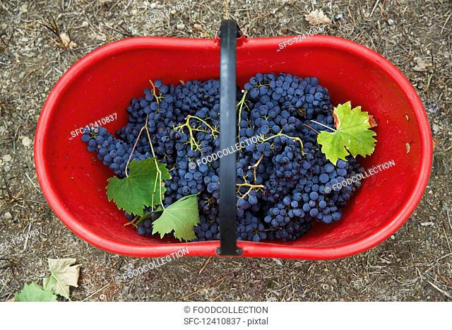 Grapes in a red basket
