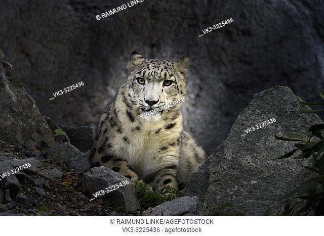Snow leopard, Panthera uncia