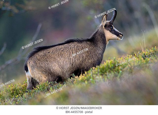 Chamois (Rupicapra rupicapra) in mountain meadow, Vosges, Hohneck, France