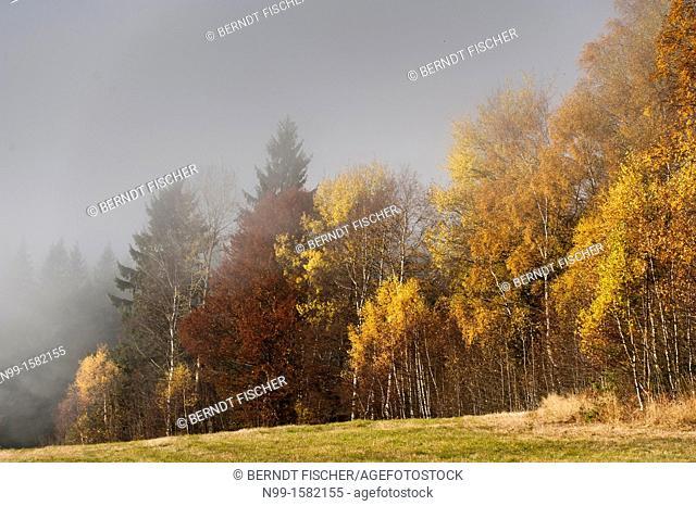 Bohemian Forest, birches, autumn colours, fog, Sumava National Park, Czech Republic