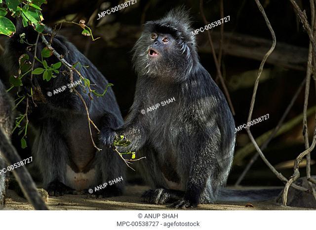 Silvered Leaf Monkey (Trachypithecus cristatus) calling, Bako National Park, Sarawak, Borneo, Malaysia