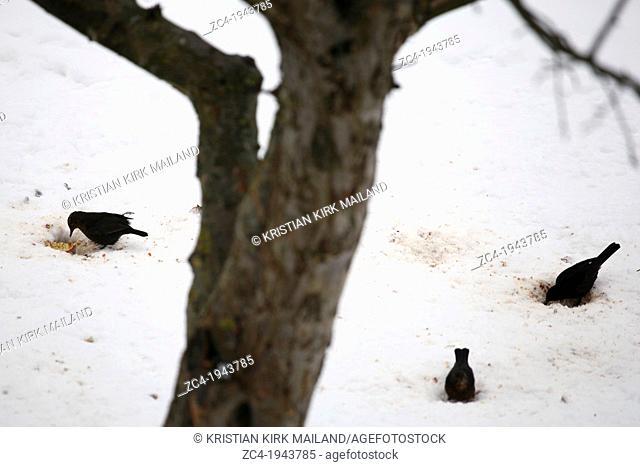 Three blackbirds finding apples under the snow. Scandinavia
