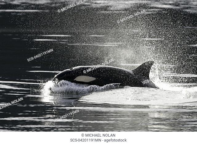 Transient Orca Orcinus orca - also called Killer Whales - suracing in Chatham Strait, Southeast Alaska, USA Pacific Ocean