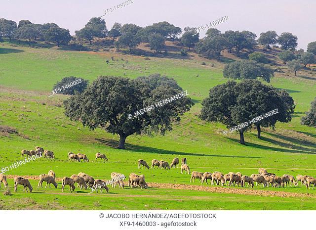 Sheep, Badajoz province, Extremadura, Spain