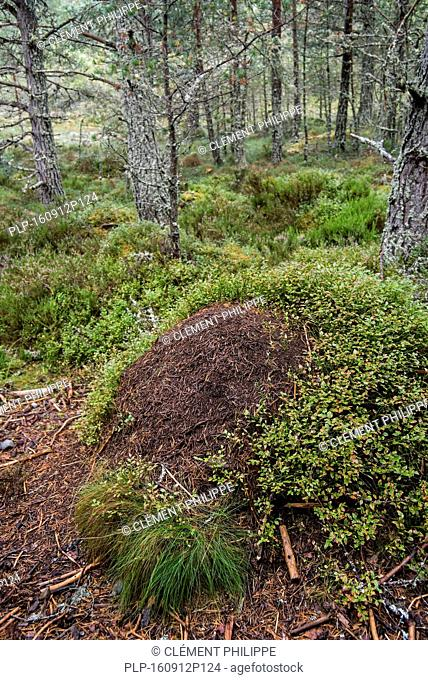 Old overgrown anthill of red wood ants / horse ant (Formica rufa) made of conifer needles in forest