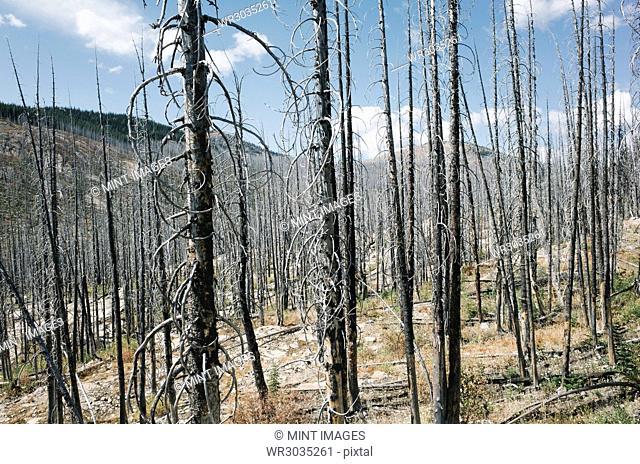 Fire damaged forest from extensive wildfire, near Harts Pass, Pasayten Wilderness, Washington