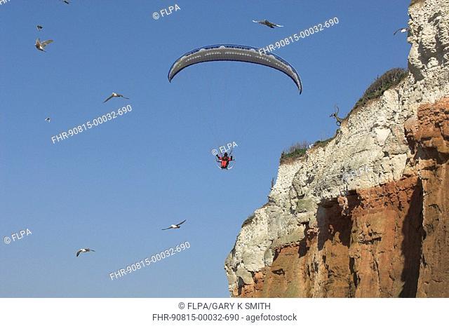 Paraglider disturbing a nesting colony of Fulmars fulmarus glacialis, Norfolk, England