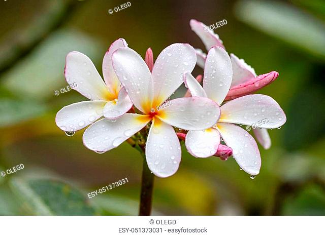White Frangipani flower at full bloom during summer after the rain. White Plumeria, Thailand, close up