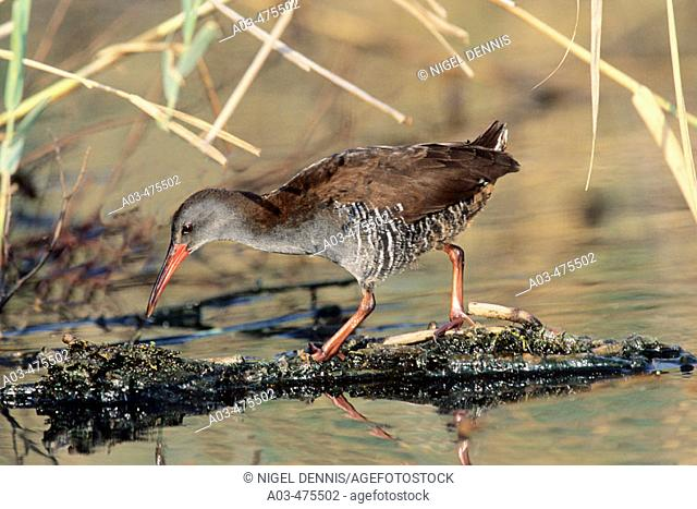 African Rail, Rallus caerulescens, in typical marsh habitat, Gauteng, South Africa