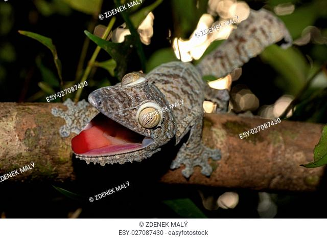 Giant leaf-tailed gecko, Uroplatus fimbriatus, Nosy Mangabe park reserve, Madagascar. Angry gecko with opened mouth showing his red tongue as defense against...