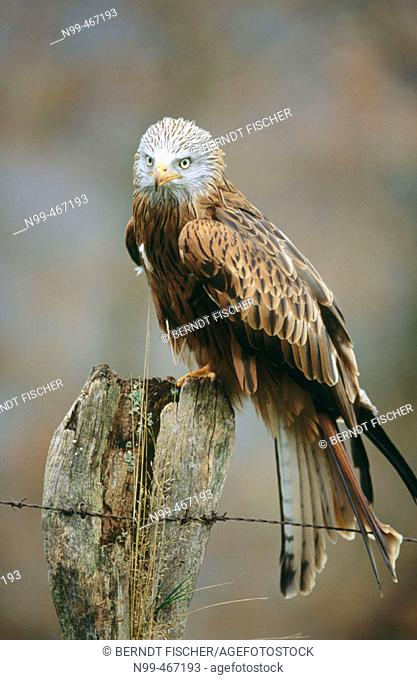 Red kite (Milvus milvus) sitting on a post. Nationalpark Kellerwald-Edersee. Hesse. Germany