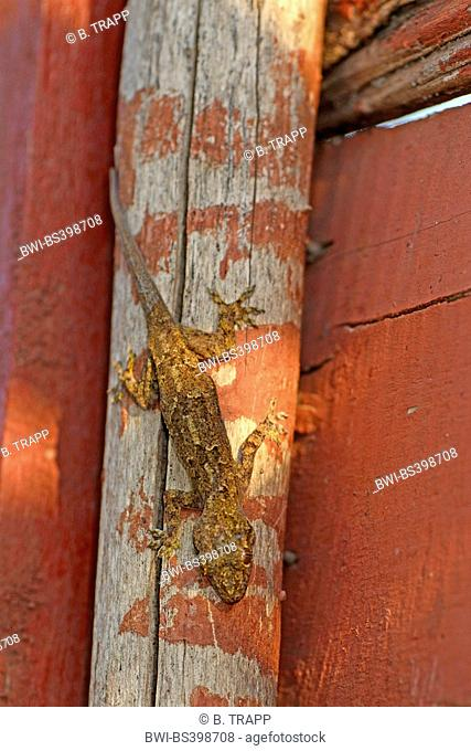 Tree gecko, Flathead Leaf-toed Gecko, Baobab Gecko (Hemidactylus cf. platycephalus), in a house on a post, Madagascar, Diana