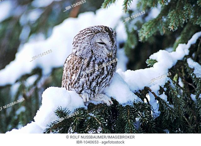 Tawny Owl (Strix aluco), adult roosting on spruce with snow, Oberaegeri, Switzerland, Europe