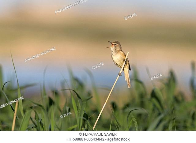 Great Reed Warbler (Acrocephalus arundinaceus) adult male, singing, perched on reed, Constanta, Romania, June