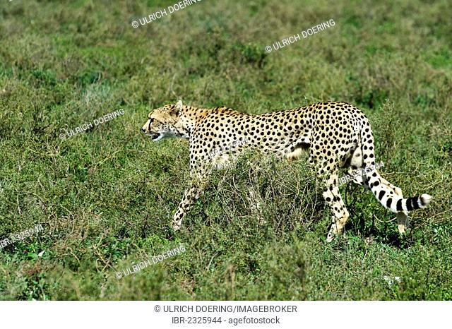 Exhausted cheetah (Acinonyx jubatus) after an unsuccessful hunting attempt in Ndutu, Ngorongoro Conservation Area, UNESCO World Heritage Site, Tanzania, Africa