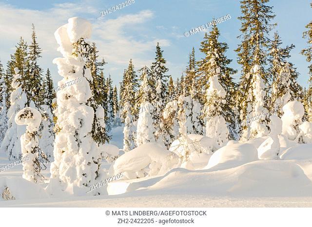 Snowy spruces and blue sky, Gällivare, Swedish lapland, Sweden