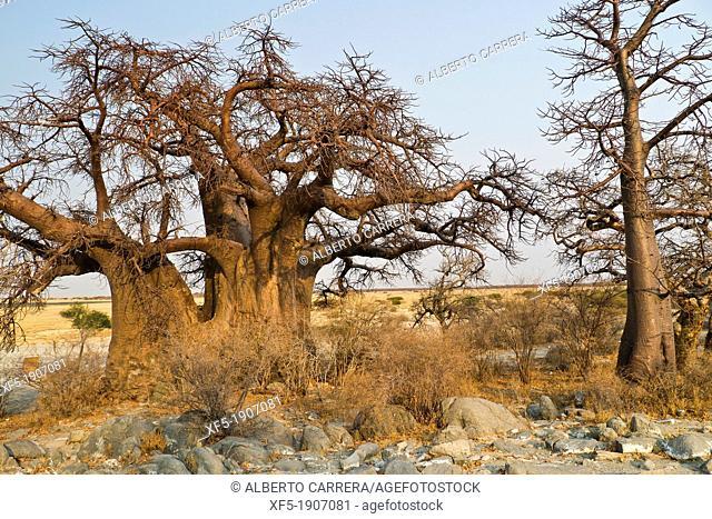 Baobab, Adansonia digitata, Kubu Island, White Sea of Salt, Lekhubu, Makgadikgadi Pans National Park, Botswana, Africa