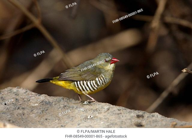 Green Avadavat (Amandava formosa) adult, standing on rock, Mount Abu, Aravalli Range, Rajasthan, India, February