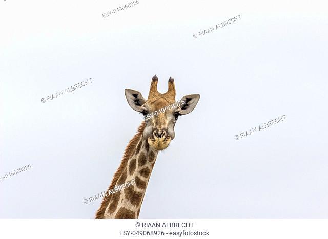 Close up photograph of geraffe in Pilanesberg National park