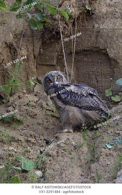 Eurasian Eagle Owl ( Bubo bubo ), young, sitting in the wall of a sand pit at dusk, late in the evening, wildlife, Europe