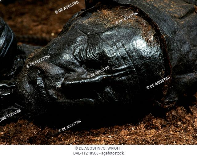 Tollund Man, naturally mummified corpse of a man who lived during the 4th century BC, detail, Jutland Peninsula, Denmark