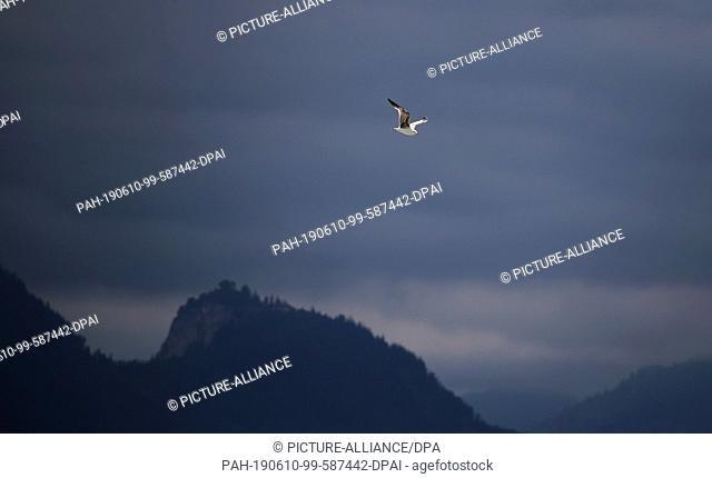 10 June 2019, Bavaria, Schwangau: A seagull shining in the sun flies in front of the cloudy ruins of Falkenstein Castle. Photo: Karl-Josef Hildenbrand/dpa