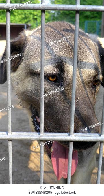 domestic dog (Canis lupus f. familiaris), portrait of a kangal dog in a kennel of an animal shelter , Germany