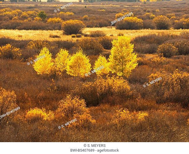 American aspen, quaking aspen, trembling aspen (Populus tremuloides), American aspens at the National Park with autumn colours, USA, Wyoming