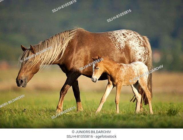 Pony. Mare and foal walking on a pasture. Germany