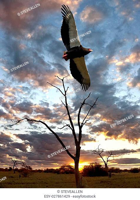 An African Bateleur Eagle (Terathopius ecaudatus) at sunset in the Savuti region of northern Botswana