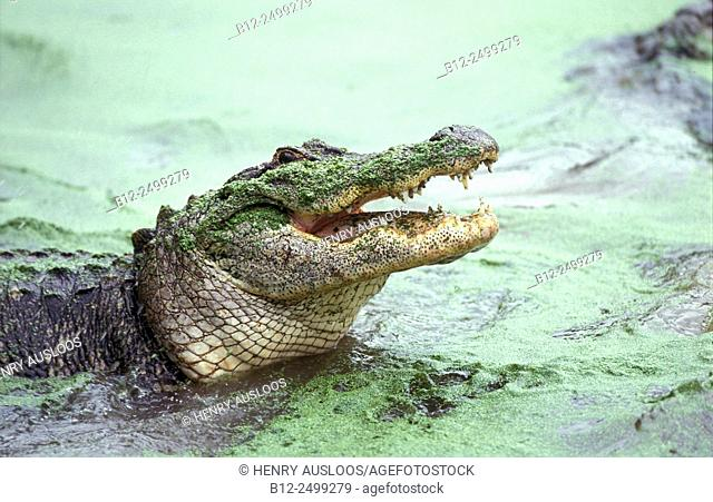 Alligator (Alligator mississipiensis) with open mouth, Everglades National Park, Florida, USA