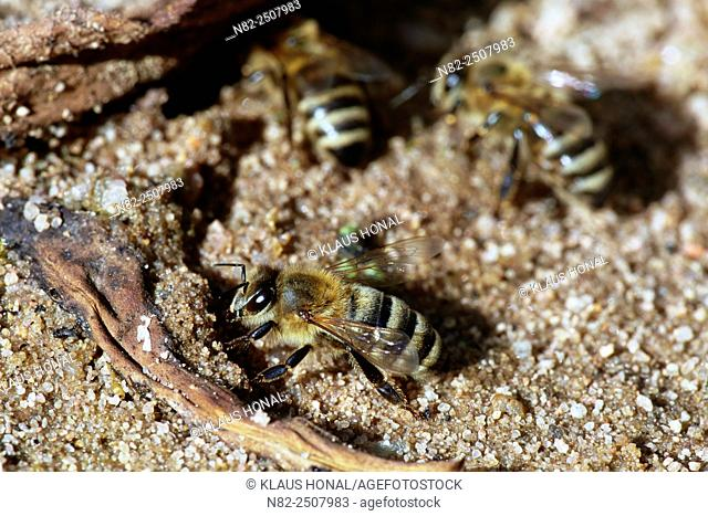 Honey bees Apis mellifera at water intake in wet sand. Bees need on hot days plenty of water for themselves and the colony - Hesselberg region, Bavaria/Germany