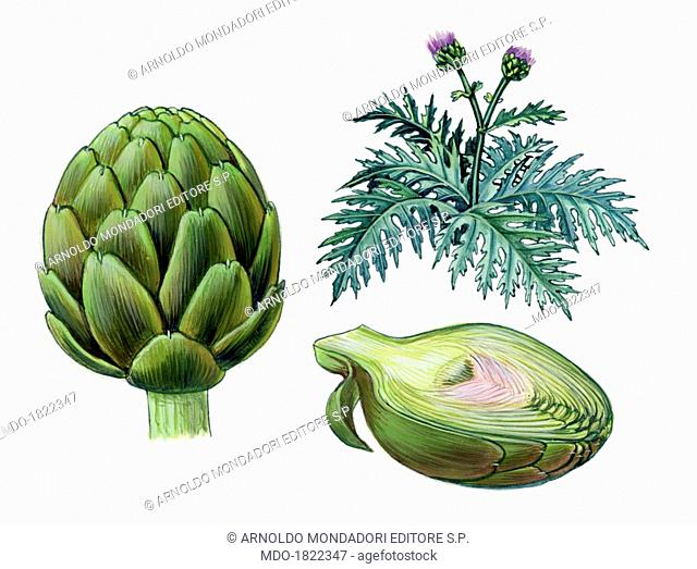 Artichoke, by Giglioli E., 20th Century, ink and watercolour on paper. Whole artwork view. Drawing of the plant and the fruit of the artichoke