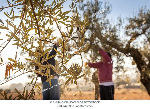 People working in the olive harvest in Spain. Traditional way. Winter morning