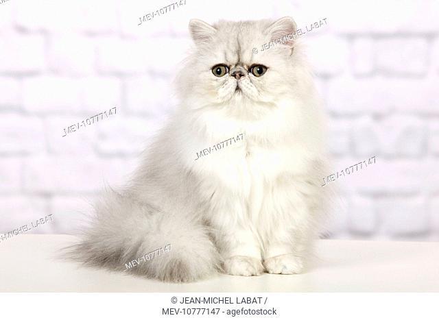 Cat - Persian Chinchilla