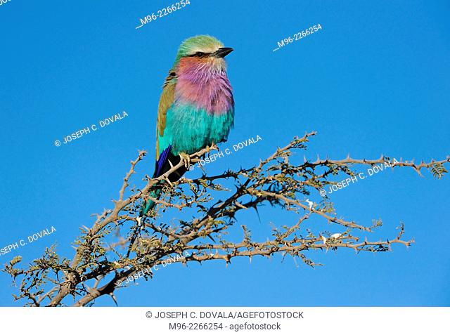 Lilac breasted roller catching early morning sun, Chobe River, Botswana, Africa