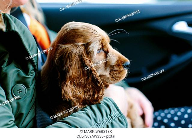 Puppy sitting on woman's lap inside vehicle