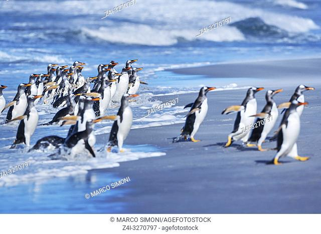 Gentoo penguins (Pygocelis papua papua) getting out of the water, Sea Lion Island, Falkland Islands, South America