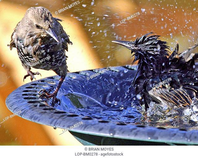 Scotland, Renfrewshire, Erskine, Starlings splashing in a bird bath