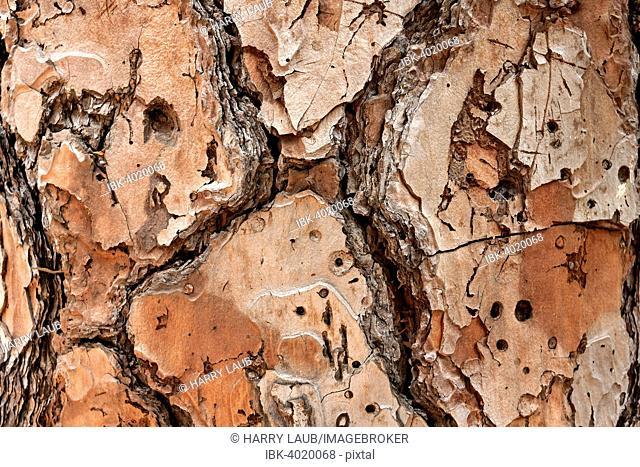 Bark of a pine tree (Pinus pinea), La Palma, Canary Islands, Spain