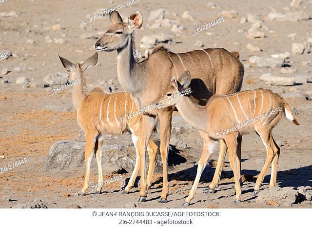 Greater kudus (Tragelaphus strepsiceros), adult female with two young, alert, on arid ground, Etosha National Park, Namibia, Africa