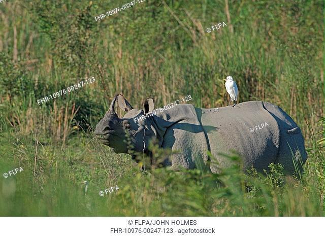 Indian Rhinoceros Rhinoceros unicornis adult, with Cattle Egret Bubulcus ibis on back, Kaziranga N P , Assam, India, november