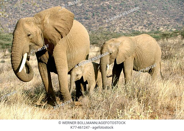 African Elephants (Loxodonta africana), mother and calves. Samburu, Kenya
